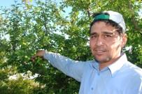 ATAYURT - Yılın İlk Açıkta Erik Hasadı Başladı