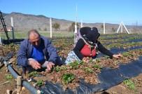 Çilek Üreticileri Yeni Sezon İçin Hazırlıklara Başladı
