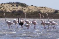 MILLI PARKLAR GENEL MÜDÜRLÜĞÜ - Siyah Flamingo Objektiflere Takıldı