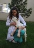 SAANEN - Yürüyemeyen Yavru Keçiyi Zıplattılar