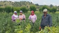 KURUCUOVA - Emeklerinin Karşılığını Alamayan Üretici Baklayı Tarlada Bıraktı