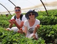 BAYRAM HAVASI - Çilek Seraları Ve Meyve Bahçeleri Turistlere Açıldı