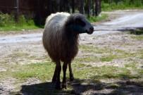 Sinop'ta Ahıra Giren Kurt 4 Koyunu Telef Etti