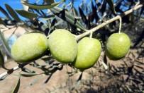 ZEYTİN AĞACI - Zeytinyağı İhracatında Yüzde 425'Lik Rekor Artış