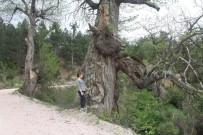 DEĞIRMENDERE - Kestane Ağaçları Korunmayı Bekliyor