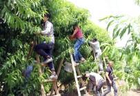 ATEŞ ÇEMBERİ - Turfanda Meyve Hasadı Başladı