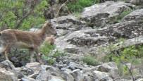 HAYVAN SEVERLER - Yaban Keçi Sürüsü Görüntülendi