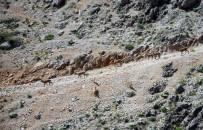 Koruma Altındaki Dağ Keçileri Suya İnerken Görüntülendi