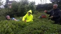 MUSTAFA ERBAŞ - Rize'de Yaş Çay Hasadına Başlandı