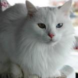 SENKRONIZASYON - Van Kedilerinde Doğurganlık Artırılıyor