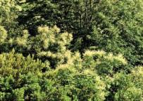 ORMANA - Orman Ve Su İşleri Bakanlığı, Gal Arıları İle Mücadele Ediyor