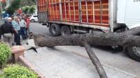 Kamyonun Devirdiği Ağaç Canından Edecekti