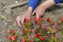HERCAI - Yaz Çiçekleri Gölbaşı'nı Renklendiriyor