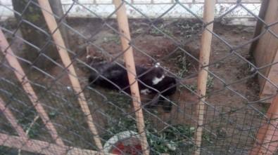 Aç Kalan Sokak Köpekleri Kafesteki Tavşanları Parçaladı