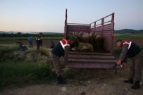 SULUCA - Edirne'de Hayvan Hırsızlığı