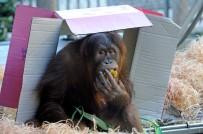 KANADA - Orangutan Maimunah'ın 31'İnci Doğum Günü Kutlandı