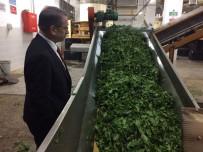 İMDAT SÜTLÜOĞLU - ÇAYKUR 3 Haftada Üreticiden 64 Bin 300 Ton Yaş Çay Aldı
