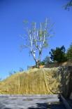 30 Yıllık Çınar Ağacını Kesmemek İçin Proje Revizyon Edildi