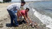 CARETTA CARETTA - Ölü Caretta Caretta Sahile Vurdu