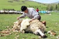 Ordu Yaylalarında Koyun Kırkma Dönemi Başladı