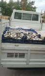 İNCİ KEFALİ - Zabıta Ekiplerinden Kaçak Balık Operasyonu
