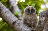 BİTLİS - Yavru Baykuşlar İçin Seferber Oldular