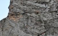 Dağ Keçilerinin Tehlikeli Yolculuğu
