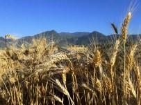 Çukurova'da Çiftçi, Buğday Hasadından Umutlu
