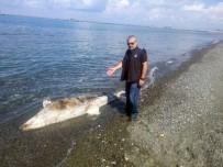 YEŞILKÖY - Dörtyol Sahilinde Ölü Köpek Balığı Bulundu