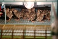 KıNALı - Yozgat'ta Yetiştirilen Keklikler Birçok İlde Doğaya Salınıyor