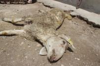 YENIKÖY - Denizli'de 'Yanlış Aşının 12 Kuzuyu Telef Ettiği' İddiasına Soruşturma