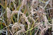 SEBZE ÜRETİMİ - Samsun'da 1 Yılda 2 Milyon 72 Bin Ton Bitkisel Ürün Üretildi