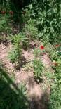 JANDARMA KARAKOLU - Alanya'da 36 Kök Hint Keneviri Ve Ruhsatsız Av Tüfeği Ele Geçirildi