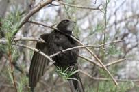 Ebabil Kuşu Iğdır'da İlk Defa Halkalandı