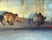 YABAN DOMUZLARI - Bodrum'da aç kalan domuzlar şehre indi
