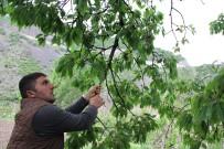 MUSTAFA ALTıNTAŞ - Artvin'de Kiraz Hasadı Başladı