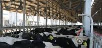 SÜT ÜRETİMİ - Samsun'da 1 Yılda 290 Bin Ton Süt Üretildi