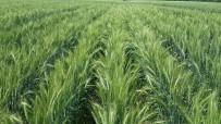 RUMELI - Milli Buğday Çeşidi Tekir'den Yüksek Verim