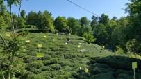 ÇAY BAHÇESİ - Çay Ve Kivi Tarımının Düşmanı Zararlı Kelebekle Biyoteknik Mücadele Başlatıldı