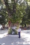 ASIRLIK ÇINAR - Asırlık Çınar Ağaçları Zararlı Böceklere Teslim