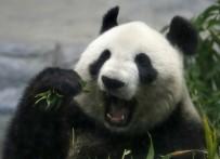 PANDA - Dev panda 5 yıl sonra doğum yaptı