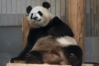 PANDA - Tokyo'da 5 Yıl Sonra Dev Panda Doğdu