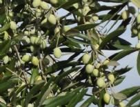 KAMU YARARı - Zeytinlik düzenlemesinde flaş gelişme