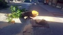 BALCı - CHP'li Belediye Yolu Genişletmek İçin Ağaçları Kesti