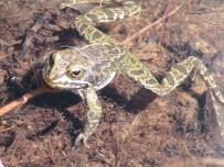 ORMAN VE SU İŞLERİ BAKANLIĞI - Dünya'da Sadece Niğde'de Görülen Toros Kurbağası Biyokaçakçılığa Karşı Korunuyor