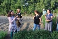 EKINEZYA - Edirne'nin İlk Lavanta Hasadı Gerçekleşti