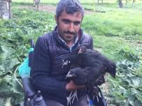 BELDEN - Hediye Edilen Akülü Tekerlekli Sandalye Ve Tavuklarla Hayata Yeniden Tutundu