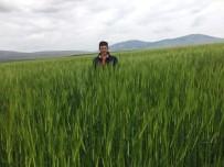 Buğdayda Rekor Verim Bekleniyor