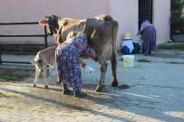 ADNAN MENDERES ÜNIVERSITESI - Süt Üreticilerine Eğitimler Devam Ediyor