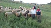 İTİRAF - Biga'da Çalınan Hayvanlar Otlatılırken Bulundu
